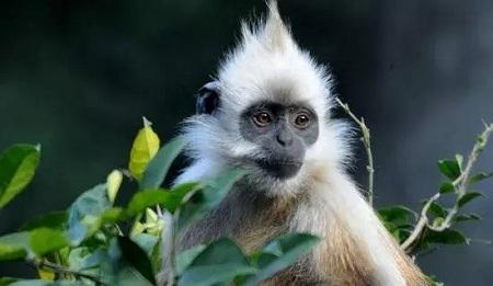 启德,白头叶猴