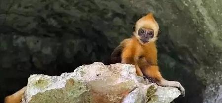 启德,金色幼猴