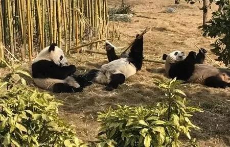 启德,大熊猫,萌萌